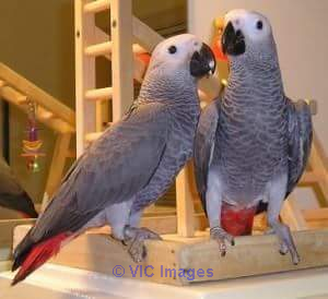 AMAZING AFRICAN GREY PARROTS FOR ADOPTION